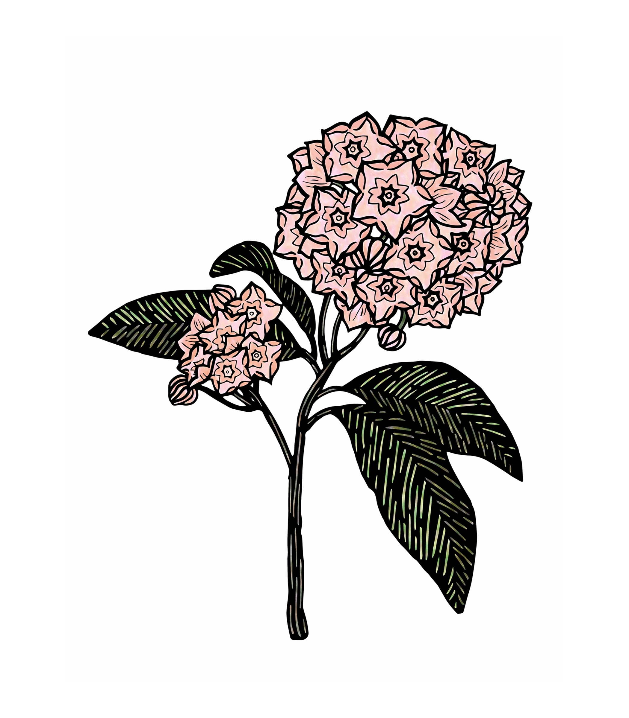 Pennsylvania Mountain Laurel