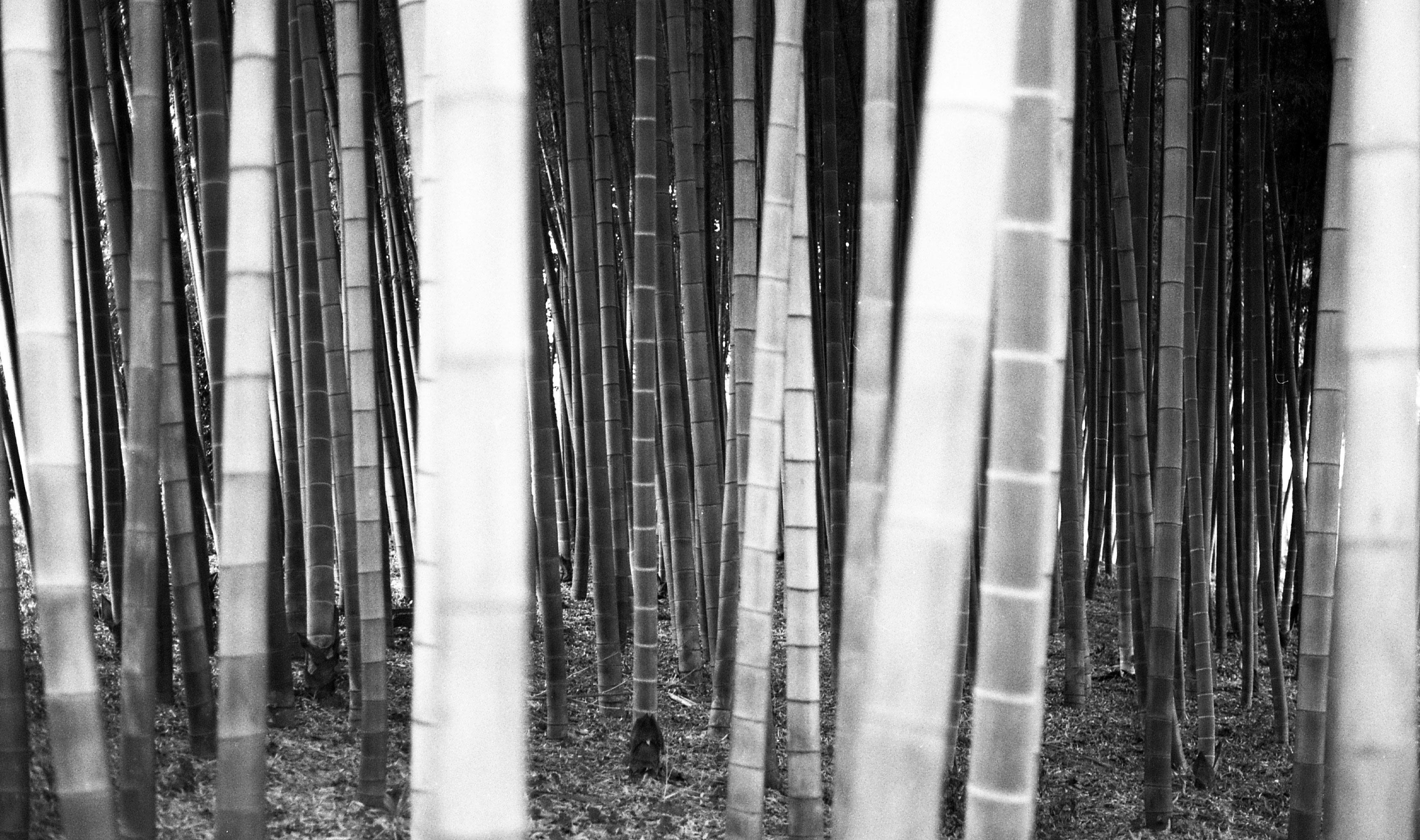 Bamboo Season